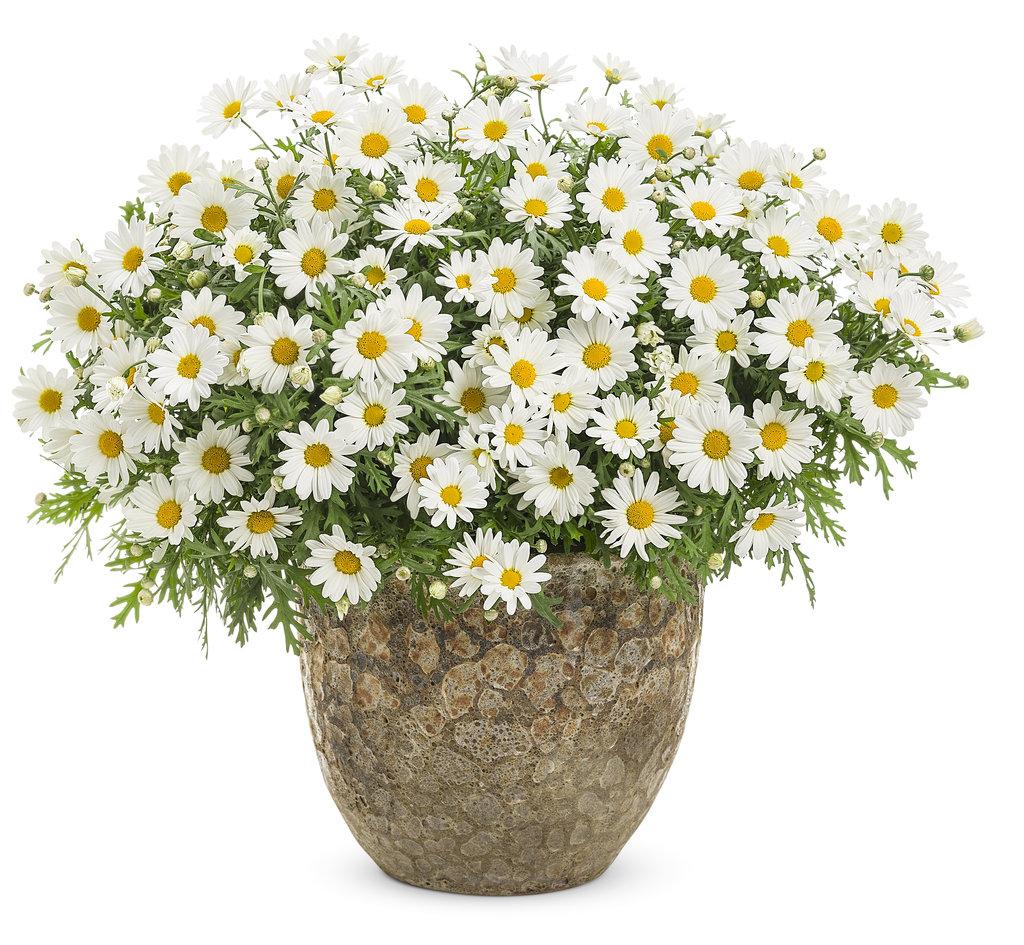 Pure white butterfly marguerite daisy argyranthemum frutescens argyranthemumpurewhitebutterflymonog izmirmasajfo