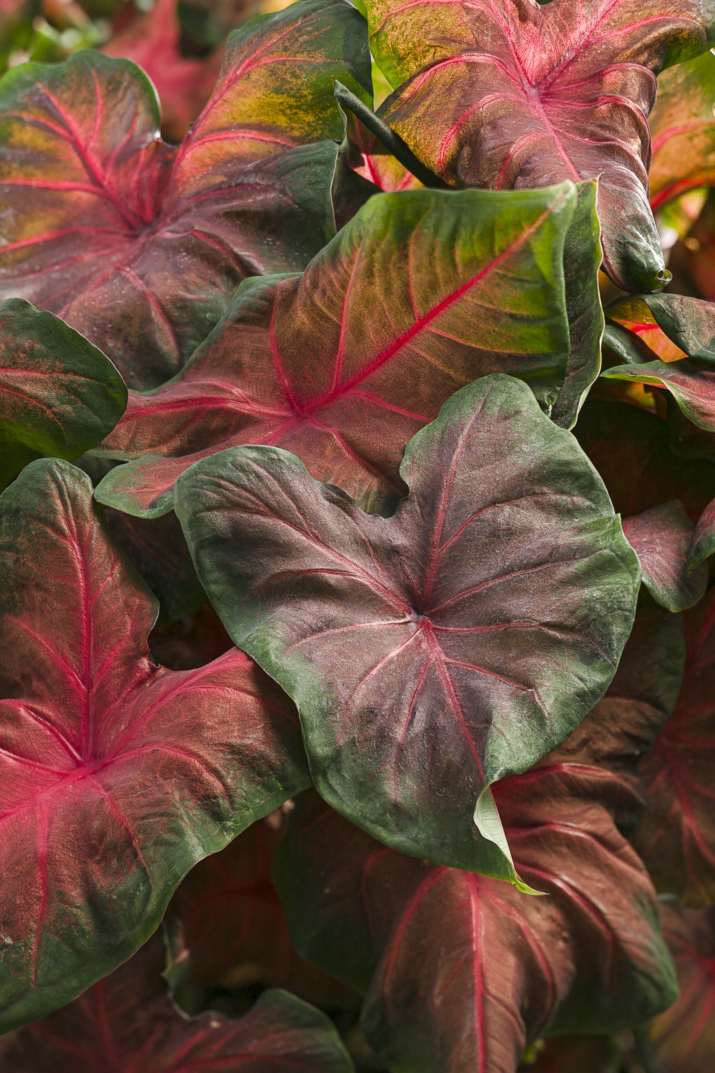 Sun Sets On Outspread Wings Of Angel In >> Artful Heartfire Angel Wings Caladium Hortulanum Proven Winners