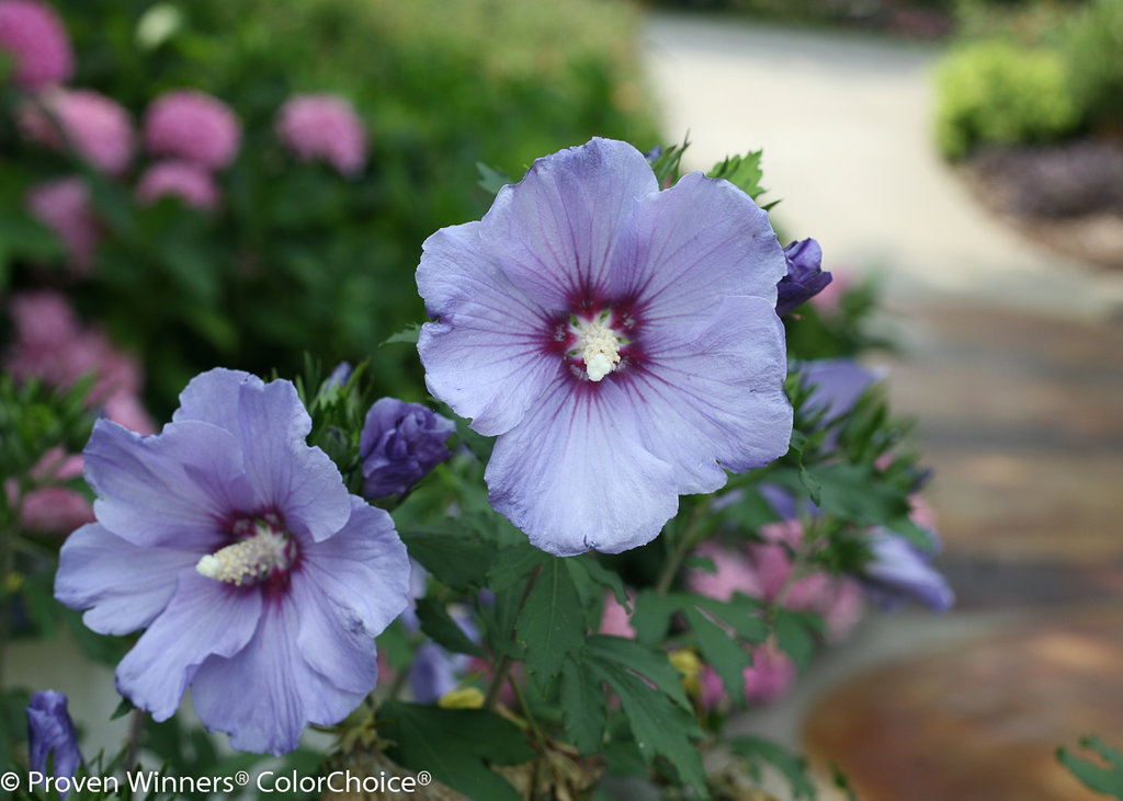 Azurri Blue Satin Rose Of Sharon Hibiscus Syriacus Proven Winners