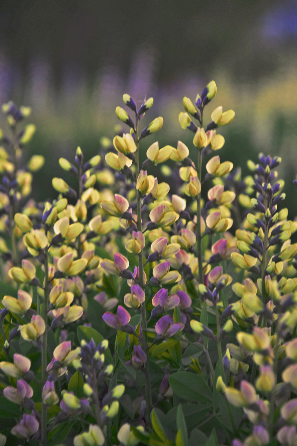 Decadence deluxe pink lemonade false indigo baptisia hybrid baptisiapinklemonade2g mightylinksfo