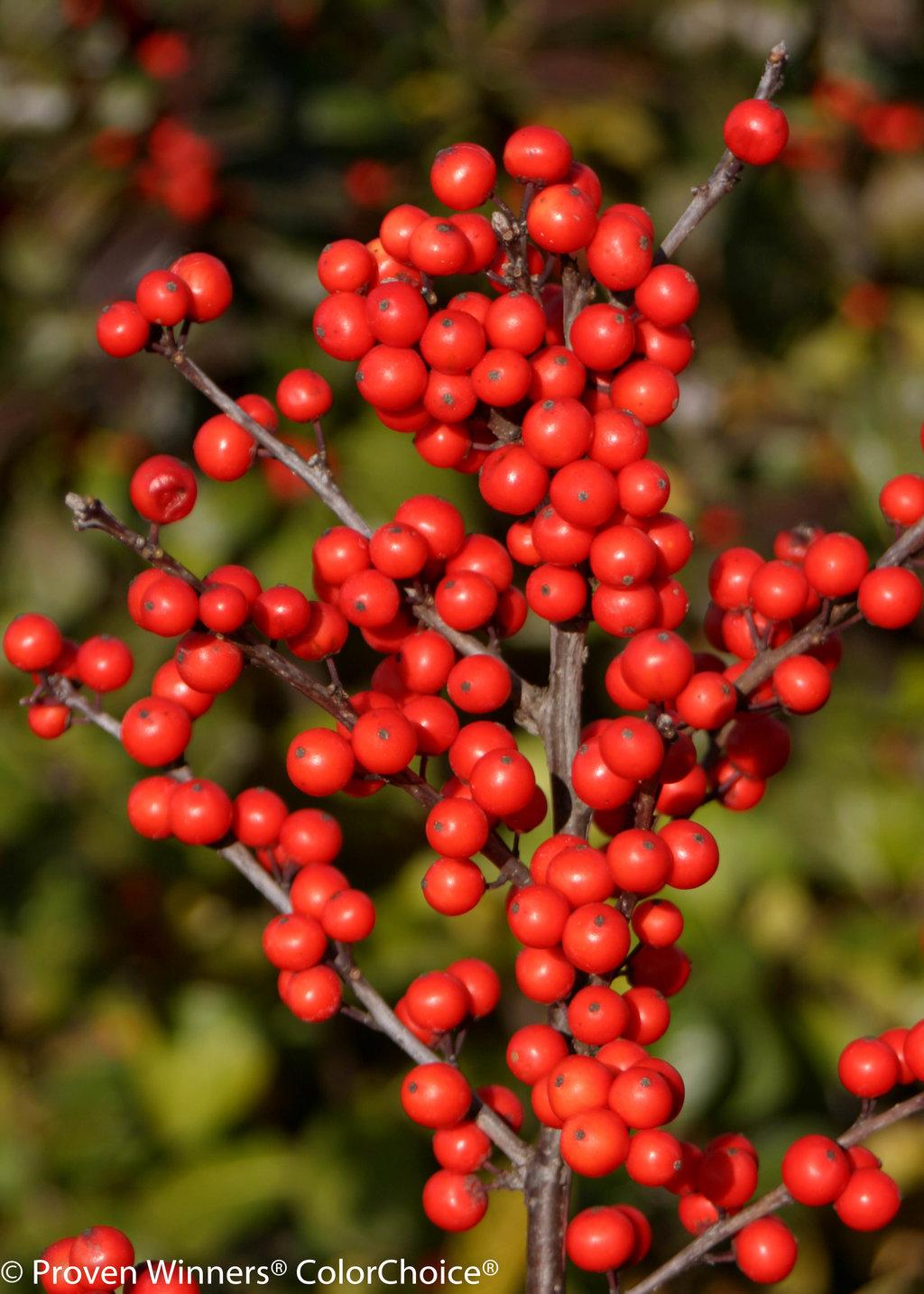 Berry Heavy® - Winterberry Holly - Ilex verticillata ...