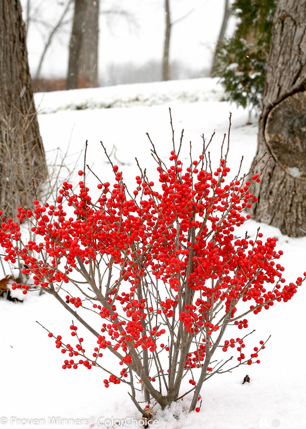 Berry Poppins Winterberry Ilex Verticillata Proven Winners