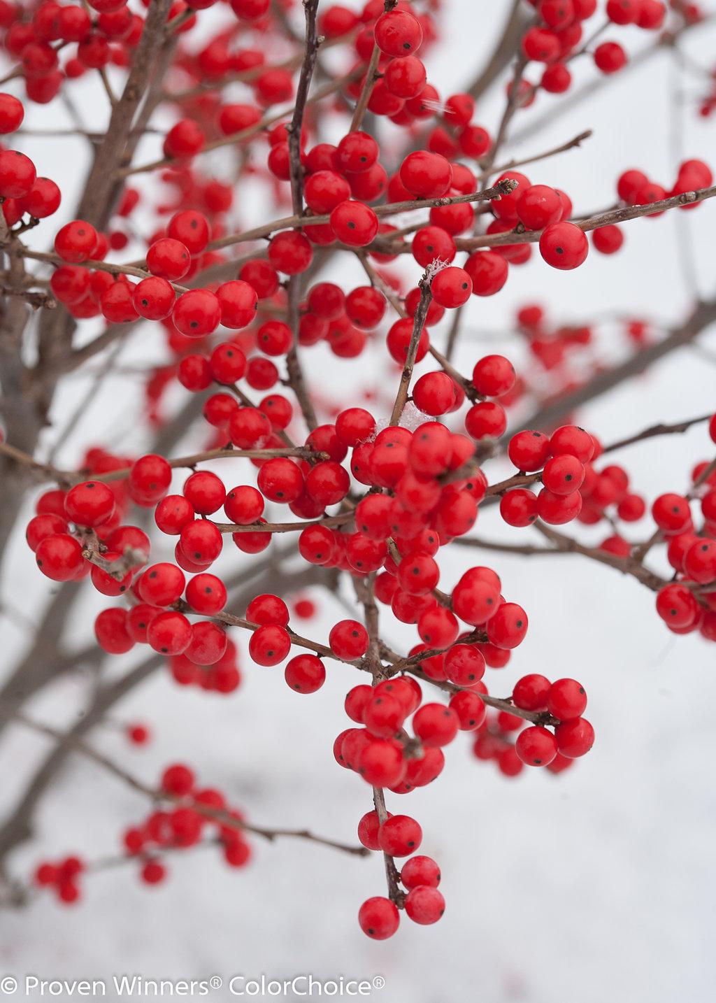 Garden Bush: Ilex Verticillata Images