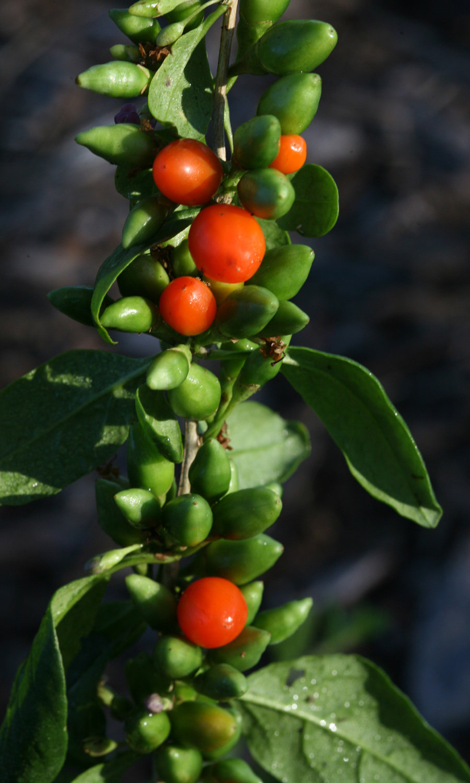 Big Lifeberry Goji Berry Lycium Barbarum Proven Winners