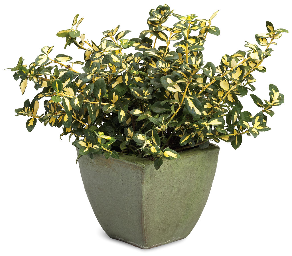 Image result for Euonymus Fortunei in container
