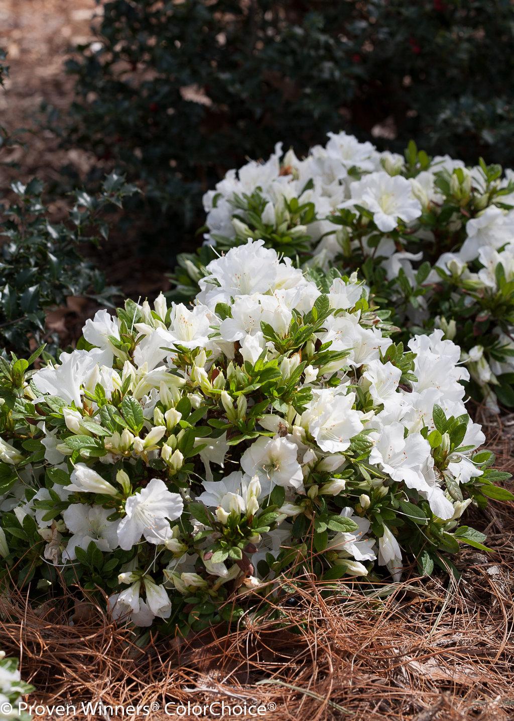 Bloom A Thon White Reblooming Azalea Rhododendron X Proven