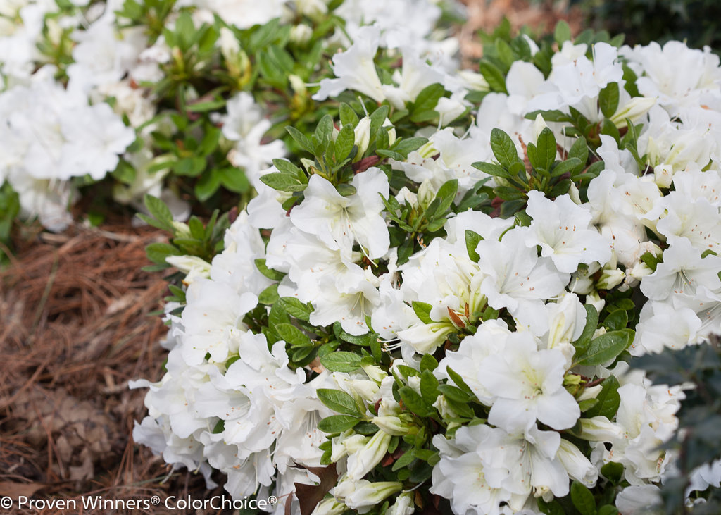 Bloom a thon white reblooming azalea rhododendron x proven bloom a thonwhiteazalea 4g mightylinksfo