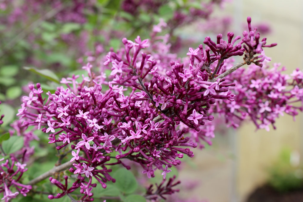 Bloomerang 174 Dark Purple Reblooming Lilac Syringa X