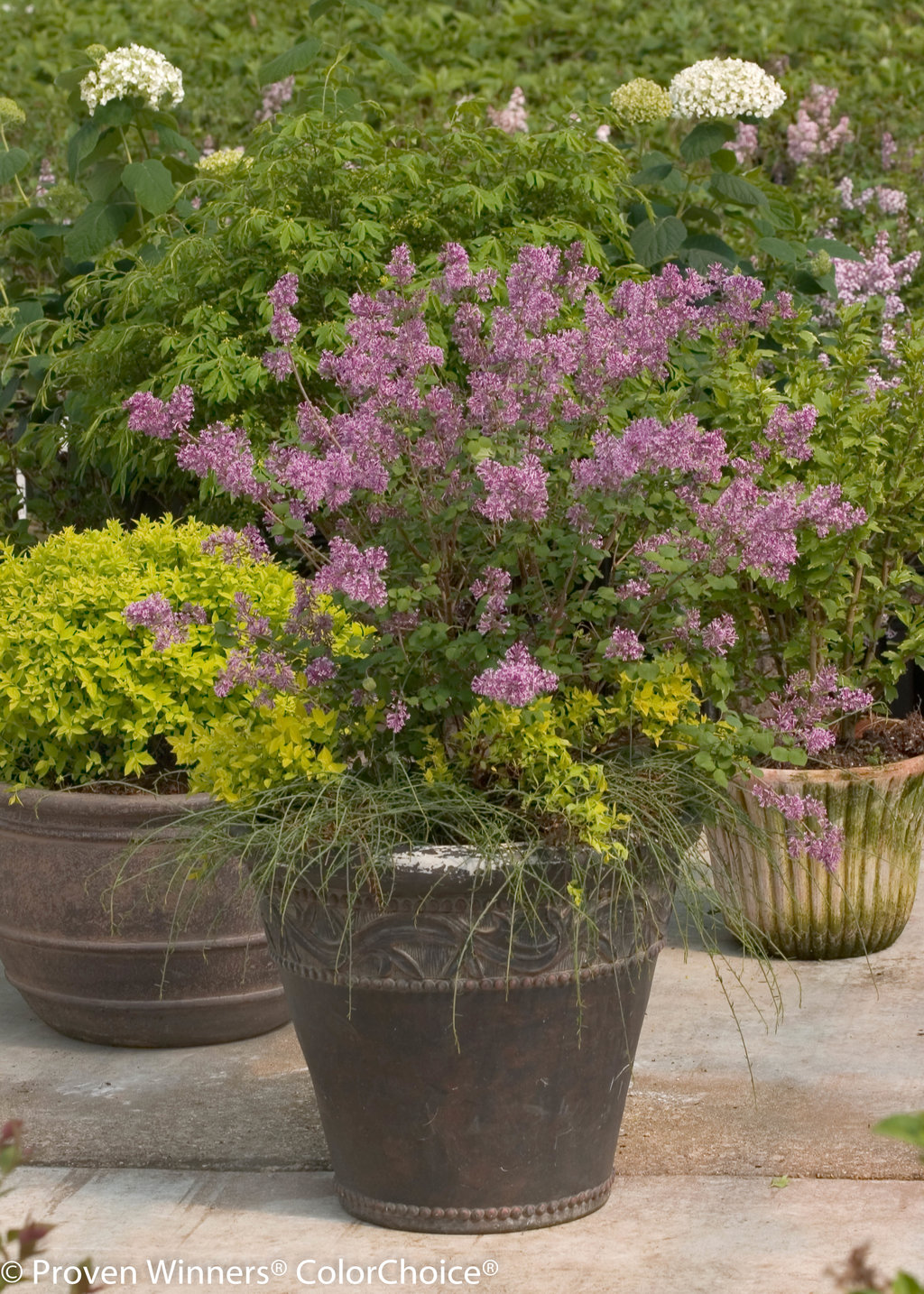 Bloomerang® Purple - Reblooming Lilac - Syringa x | Proven Winners