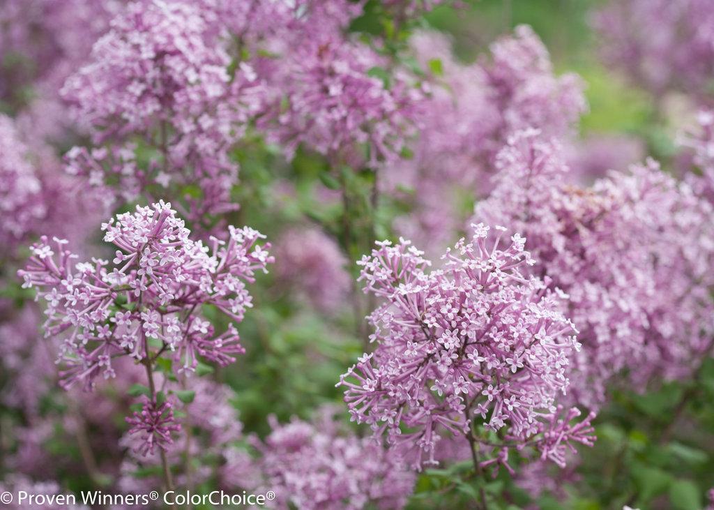 Bloomerang 174 Purple Reblooming Lilac Syringa X Proven