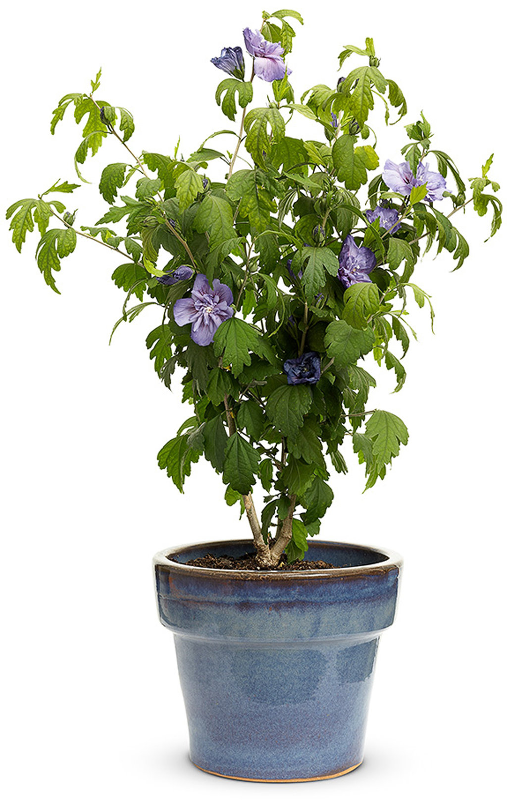 Blue Chiffon Rose Of Sharon Hibiscus Syriacus Proven Winners