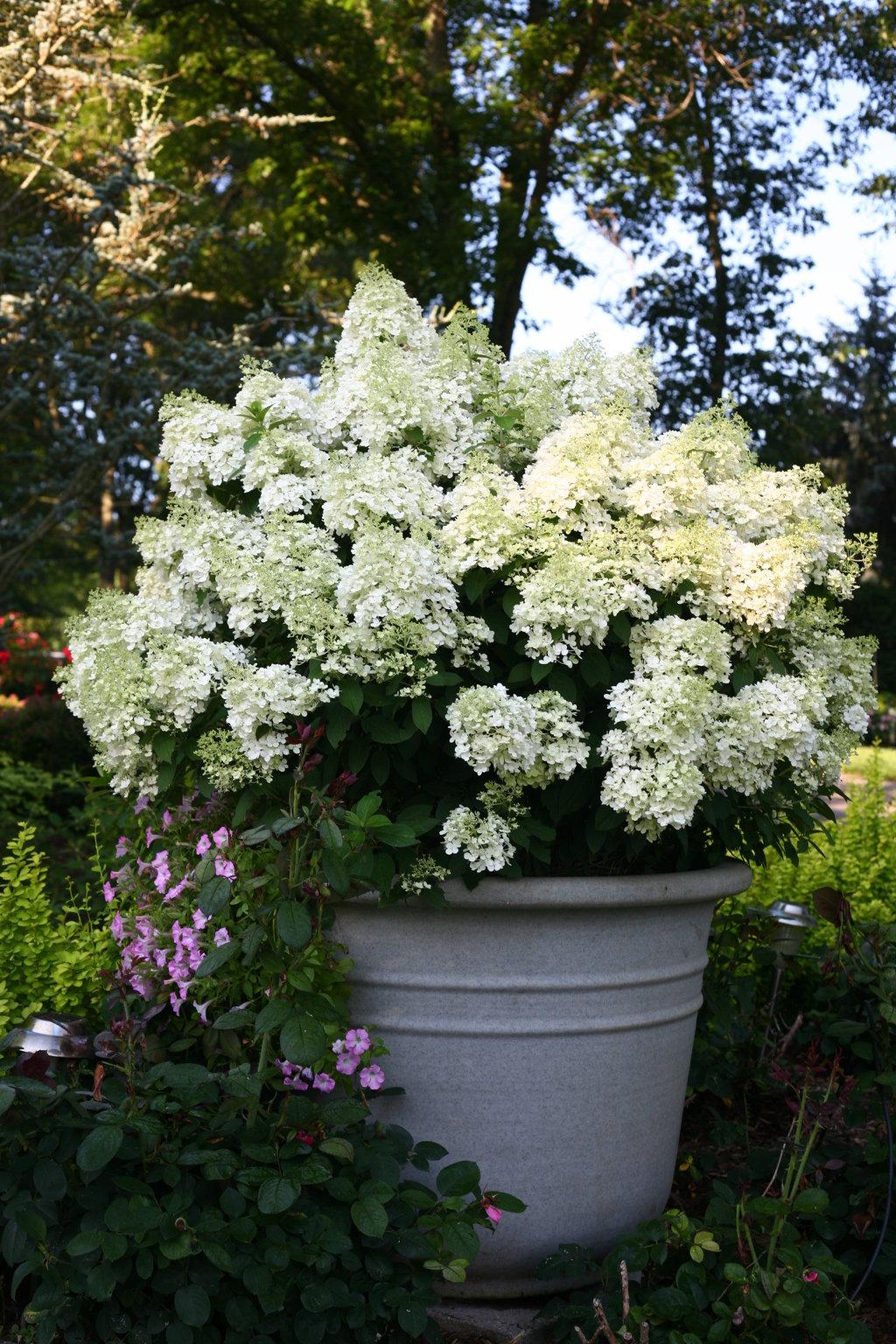 Bobo Panicle Hydrangea Hydrangea Paniculata Proven Winners