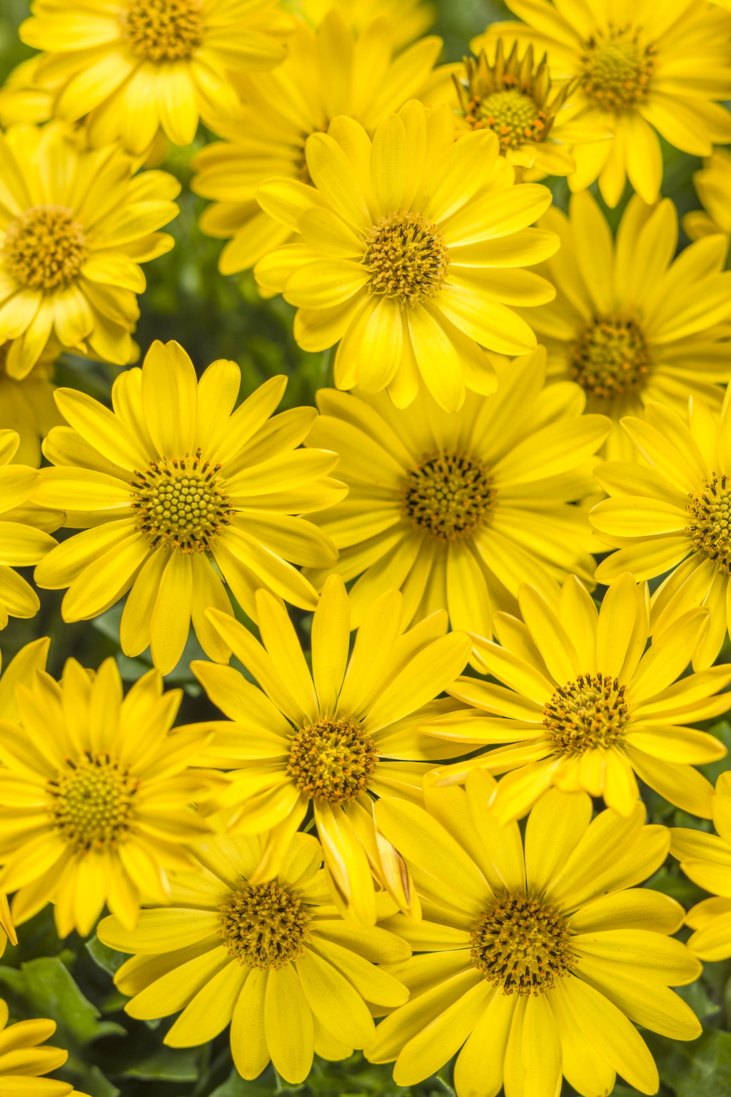Bright Lights Yellow African Daisy Osteospermum Hybrid Proven