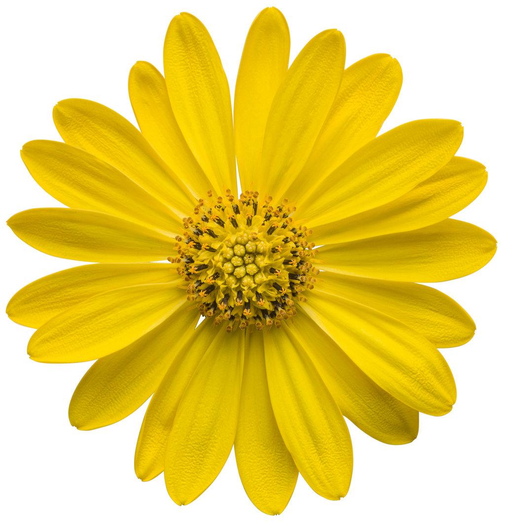 Bright Lights Yellow African Daisy Osteospermum Hybrid Proven