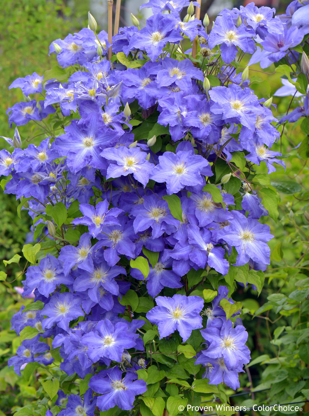 Brother Stefan 174 Clematis Sp Proven Winners
