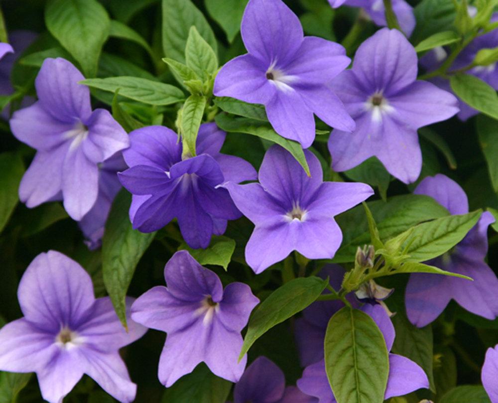 Endless illumination bush violet browallia hybrid proven winners browalliaendlessilluminationcloseupg izmirmasajfo