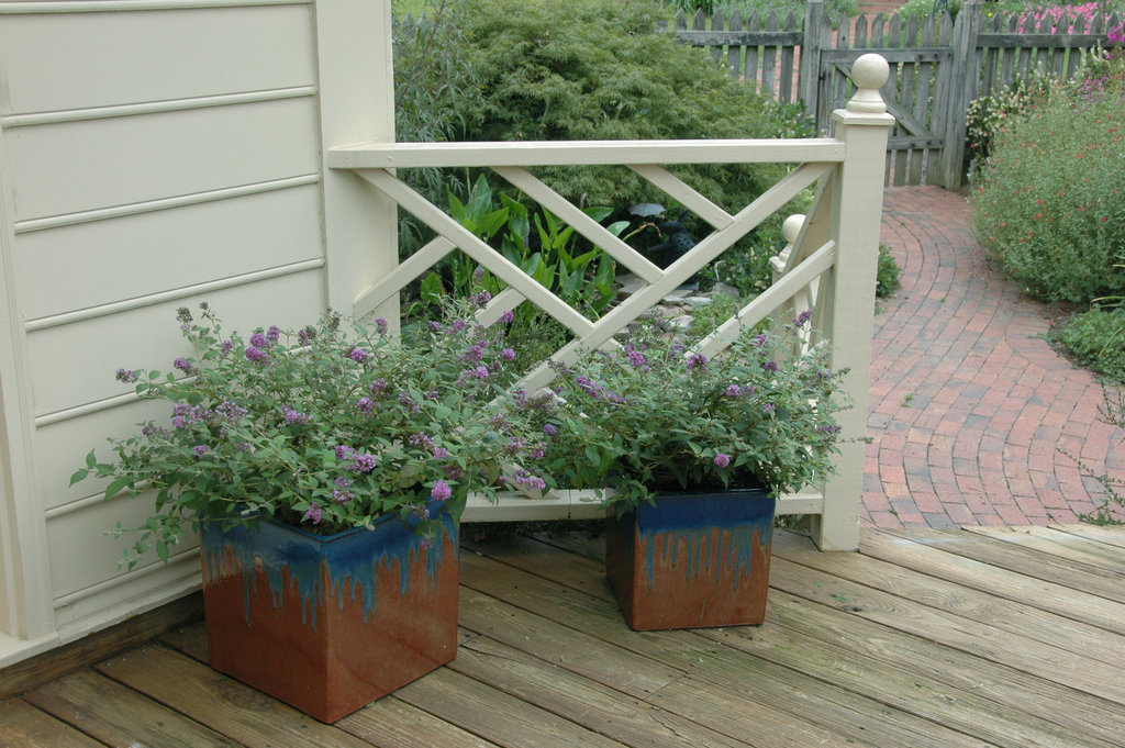 Lo Amp Behold 174 Blue Chip Butterfly Bush Buddleia X