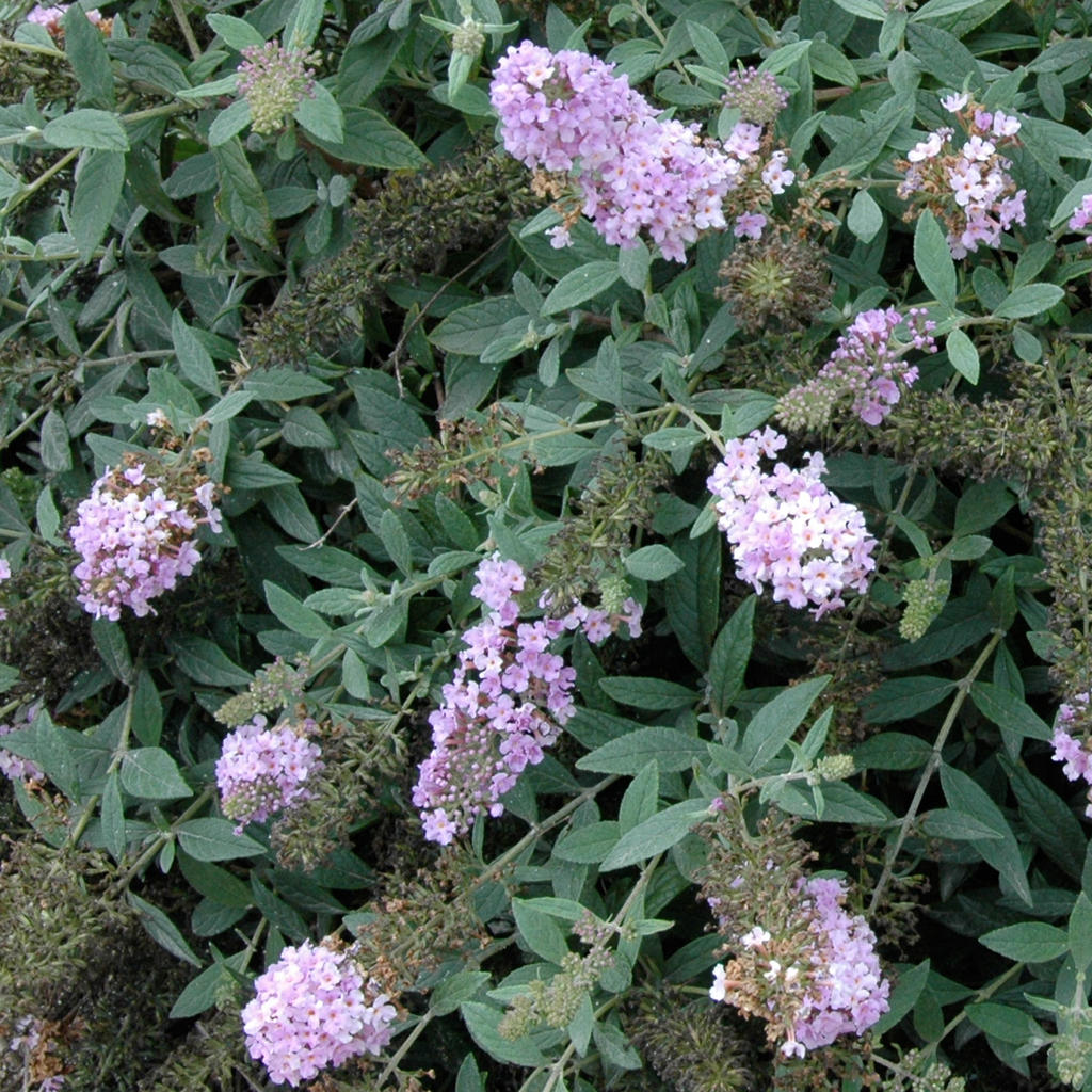 Lo Amp Behold 174 Lilac Chip Butterfly Bush Buddleia X