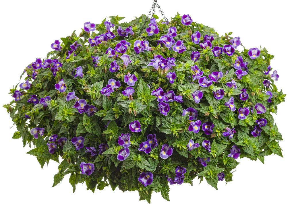 Catalina 174 Midnight Blue Wishbone Flower Torenia Images