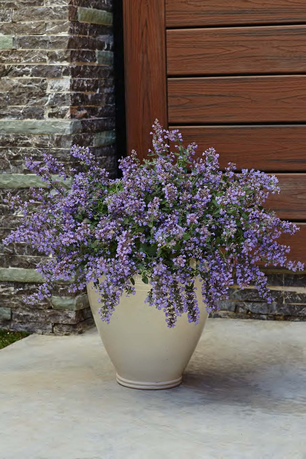 Cats Meow Catmint Nepeta Faassenii Proven Winners