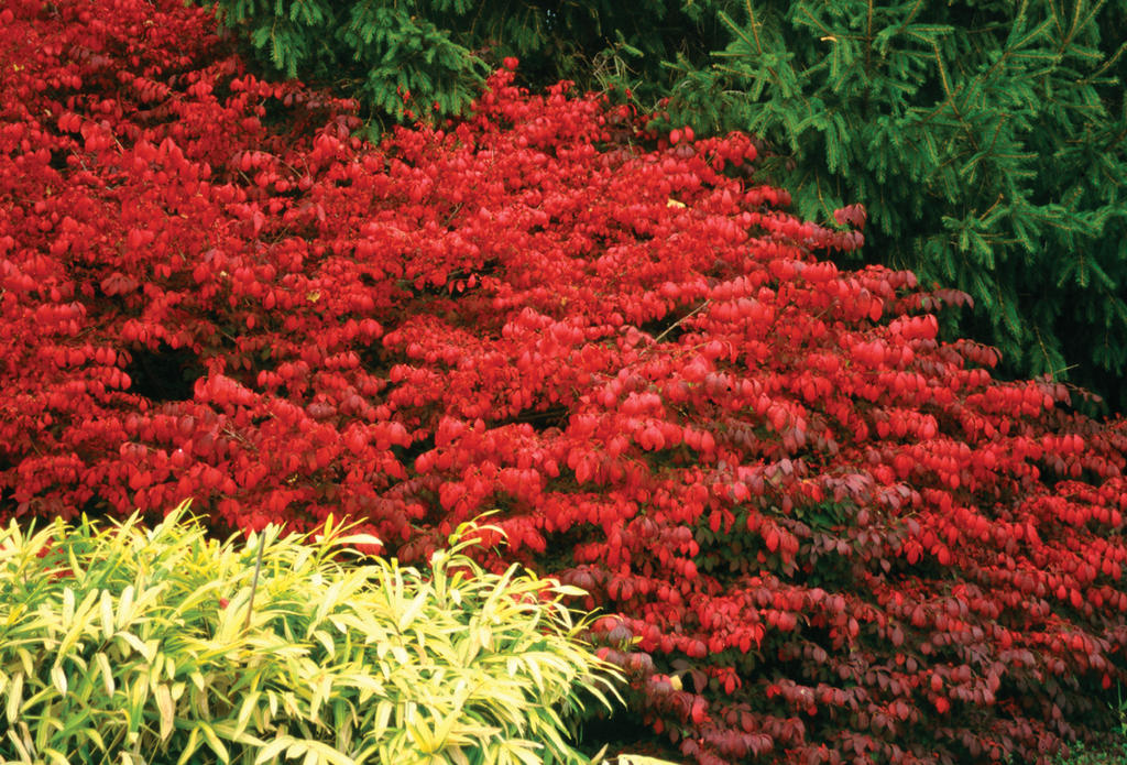 Compact Winged Burning Bush (Euonymus alatus 'Compactus') in St ...