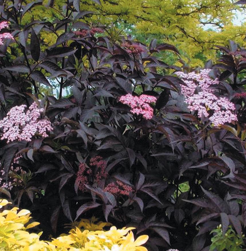 black beauty elderberry sambucus nigra images proven winners. Black Bedroom Furniture Sets. Home Design Ideas