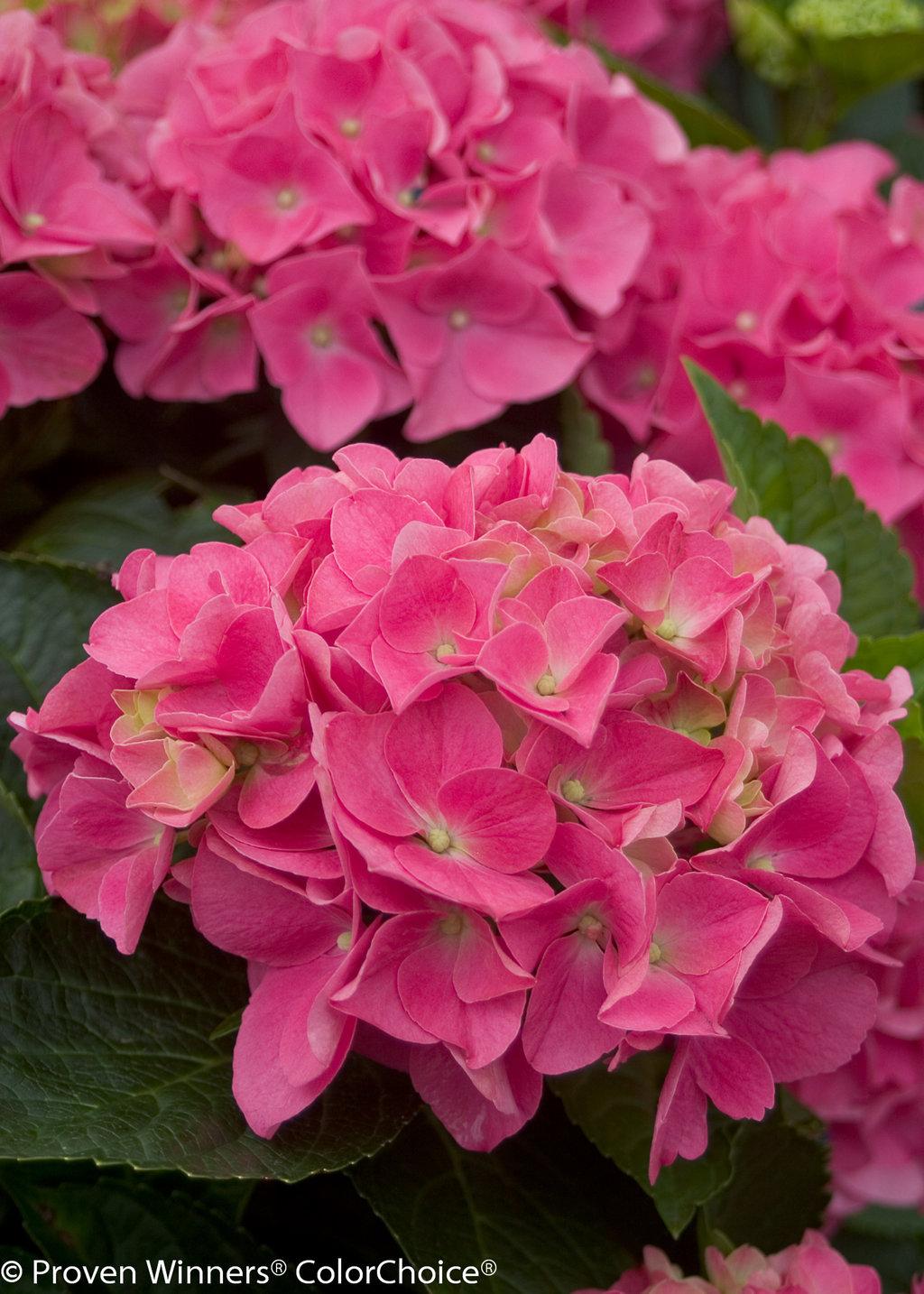 Cityline Vienna Bigleaf Hydrangea Hydrangea Macrophylla