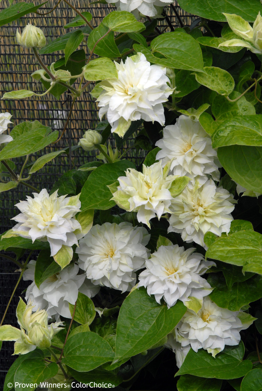Madame Maria Clematis Sp Proven Winners