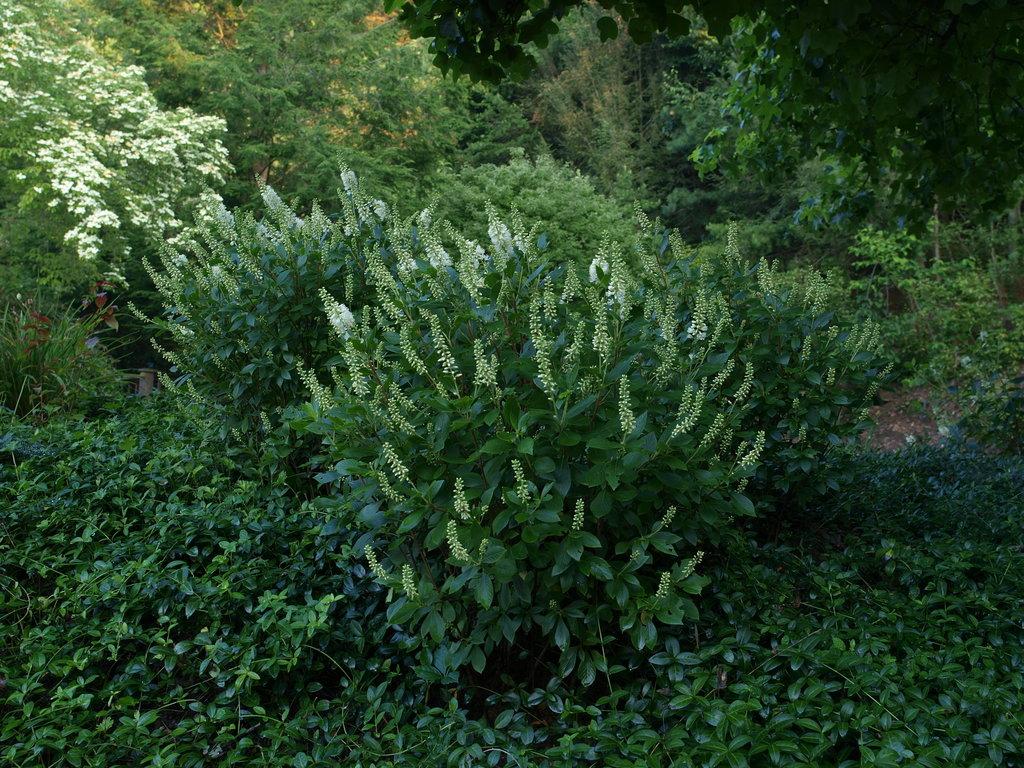 Clethra Alnifolia Sugartina Sugartina 'crystalina' Clethra