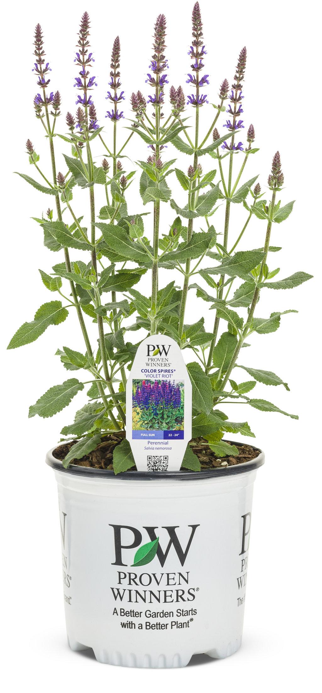 Color Spires® \'Violet Riot\' - Perennial Salvia - Salvia nemorosa ...