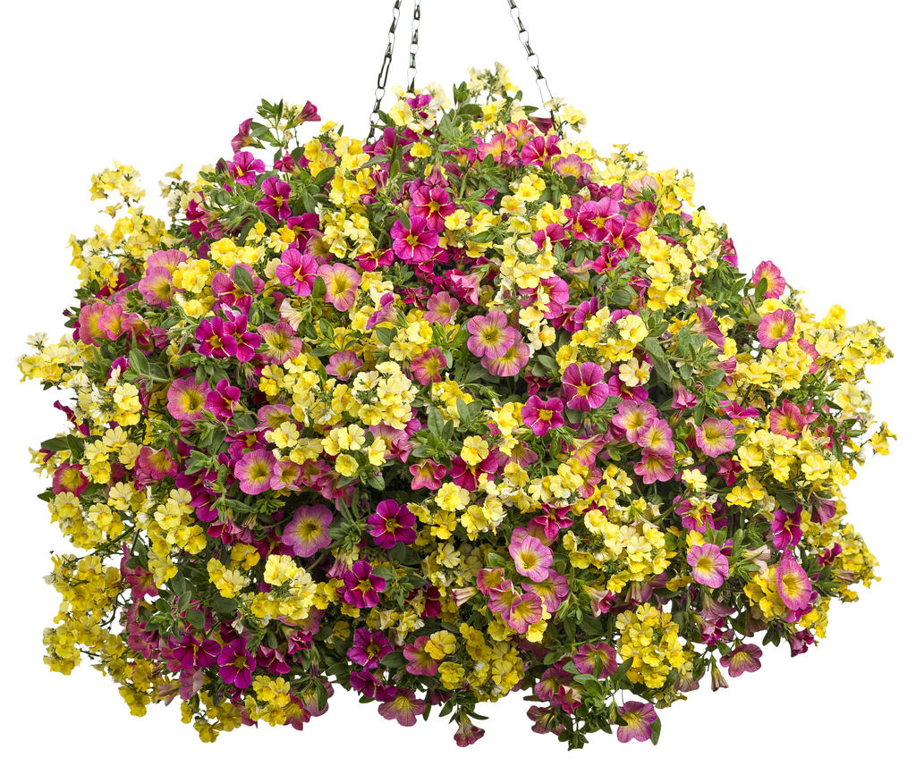 Best Flower Combinations For Hanging Baskets : Sunsatia? lemon nemesia hybrid images proven winners