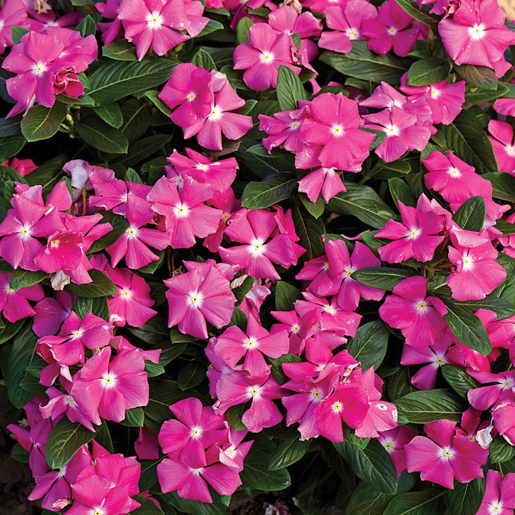 Cora 174 Pink Vinca Catharanthus Roseus Proven Winners