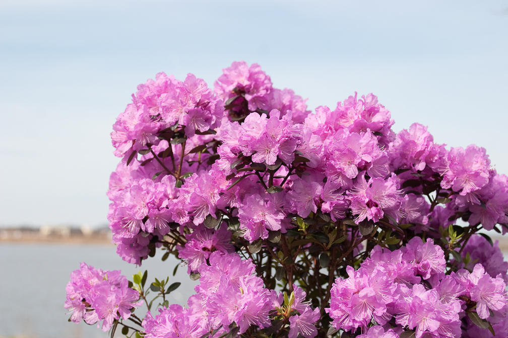 Amy Cotta Rhododendron X Proven Winners