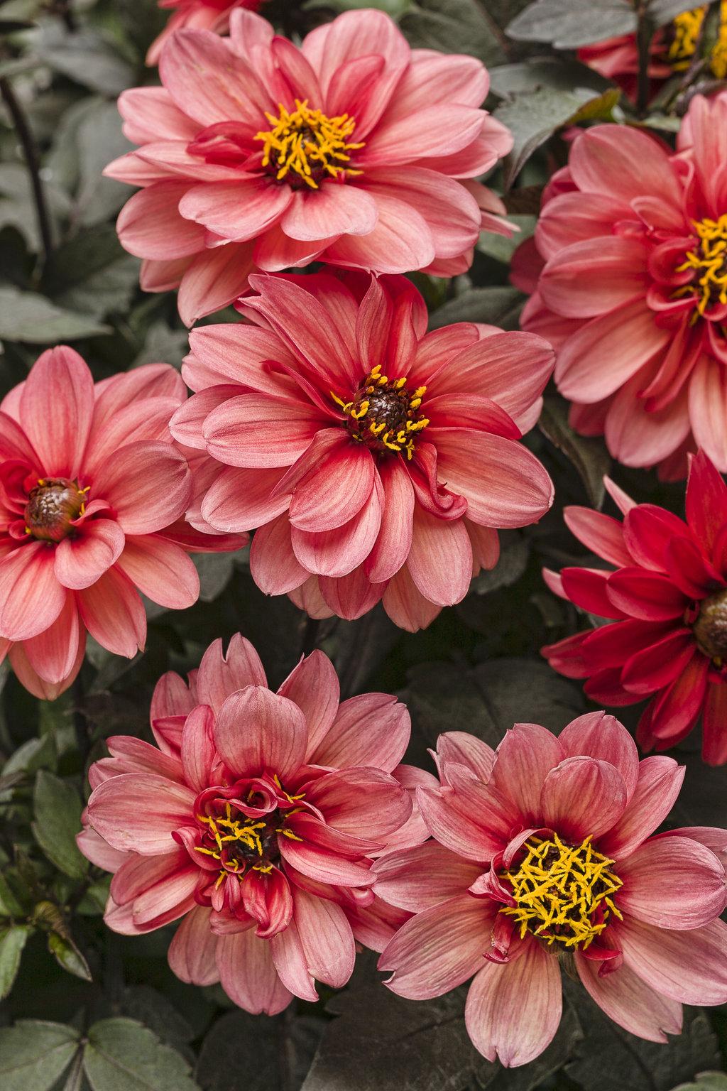 Dahlightful Sultry Scarlet Dahlia Variabilis Proven Winners