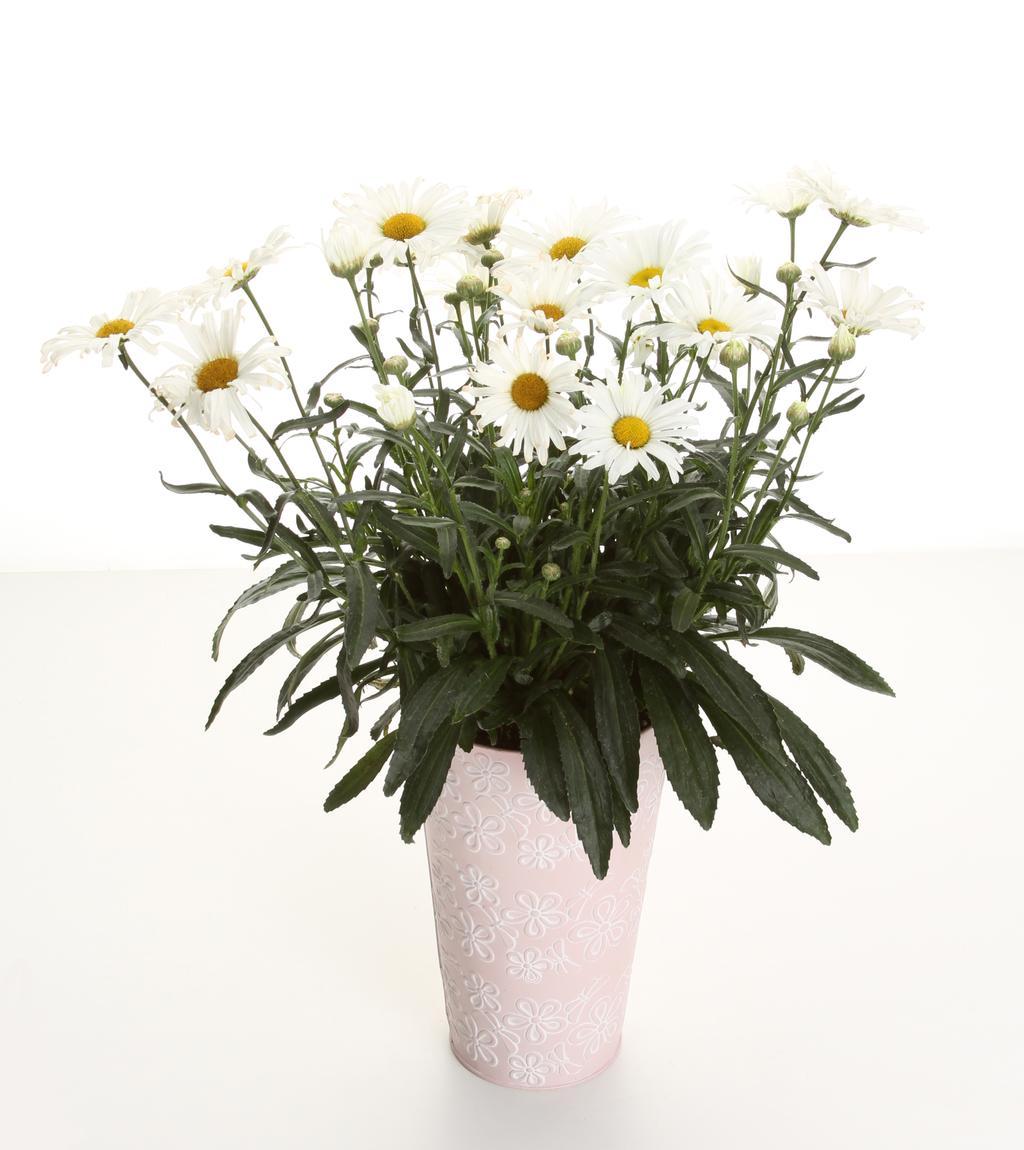 Amazing daisies daisy may shasta daisy leucanthemum superbum daisymayuc1g izmirmasajfo