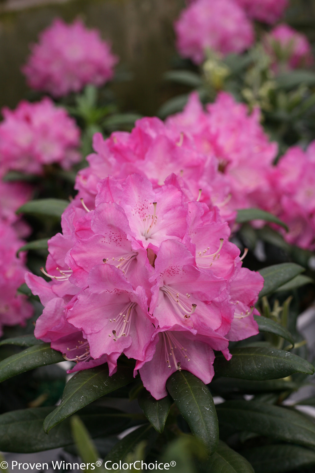 rhododendron men Virtues: rhododendron 'percy wiseman' is easy on the eyes with the creamy pinks and peaches of its changeable flowers in late spring, 'percy wiseman's' many flowers fade to ivory this plant serves well as an accent shrub standing at most 4 to 5 feet tall given moist, well-drained .