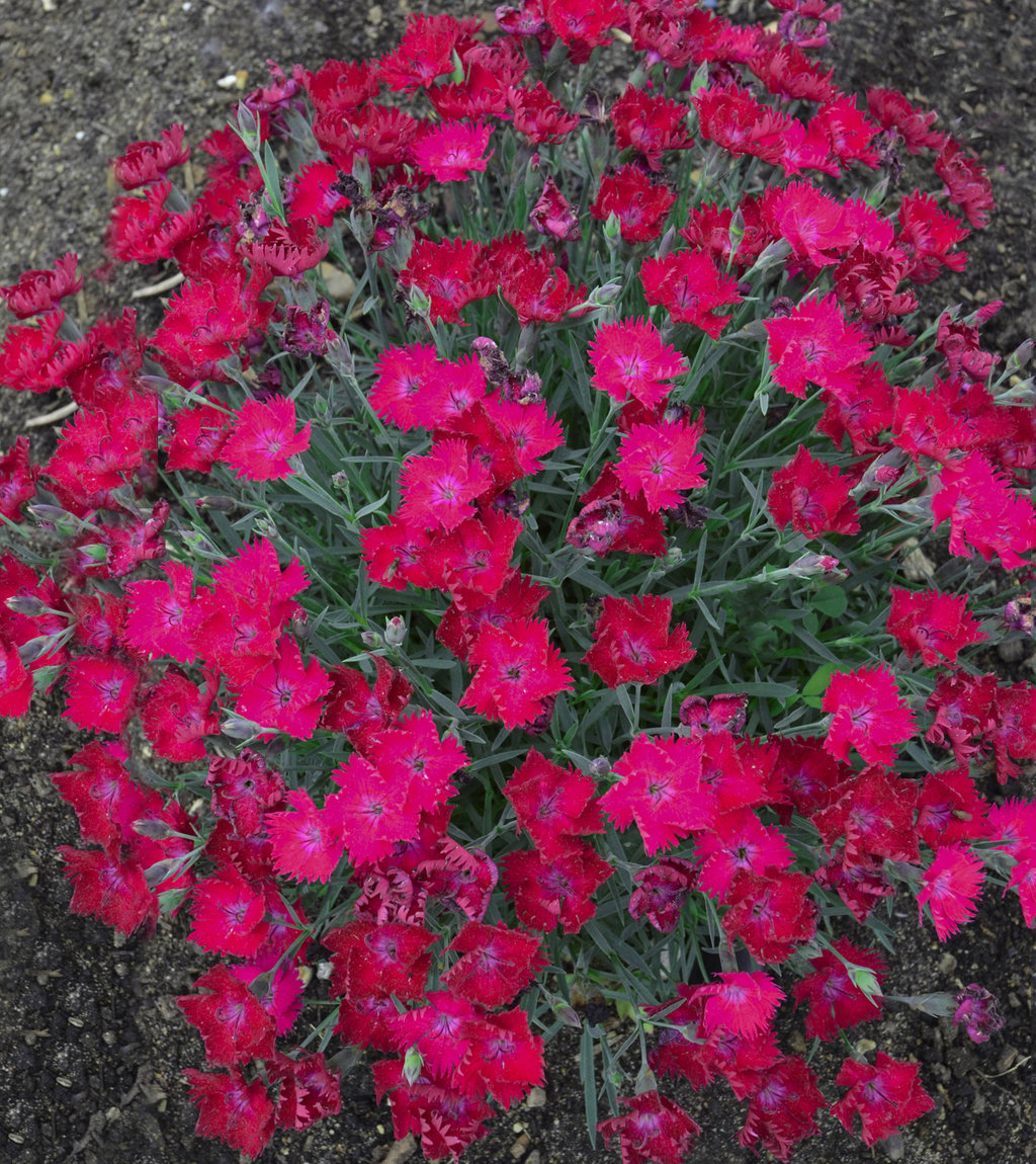 Paint The Town Magenta Pinks Dianthus Hybrid Proven Winners