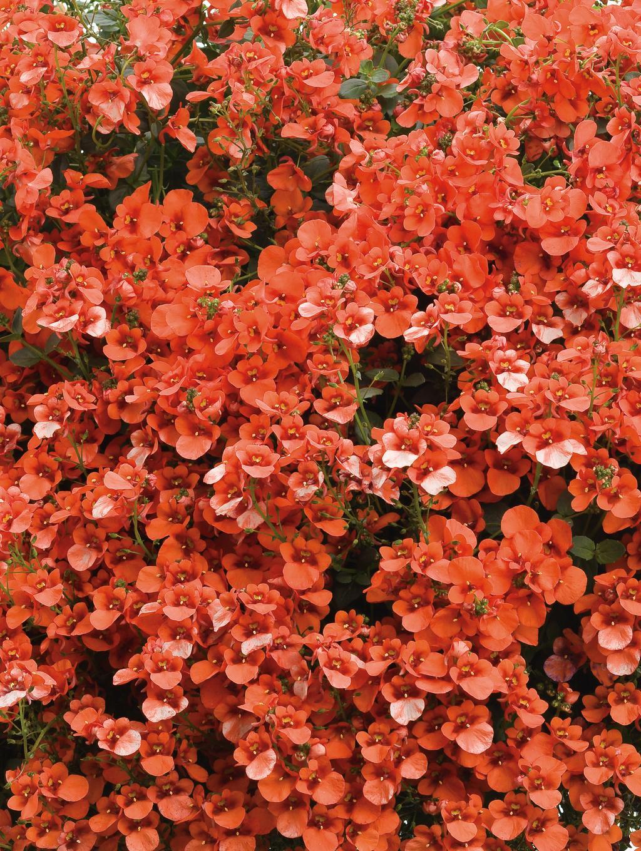 Flirtation orange twinspur diascia hybrid proven winners diascia flirt orange 3g mightylinksfo