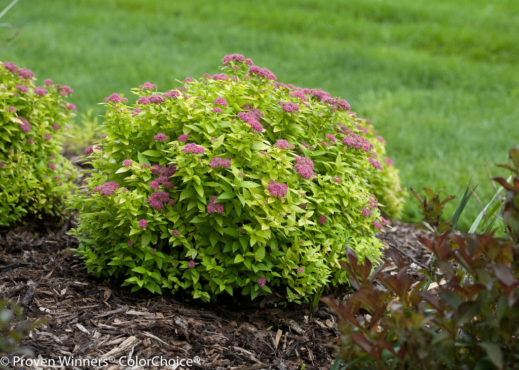Double Play 174 Gold Spirea Spiraea Japonica Images