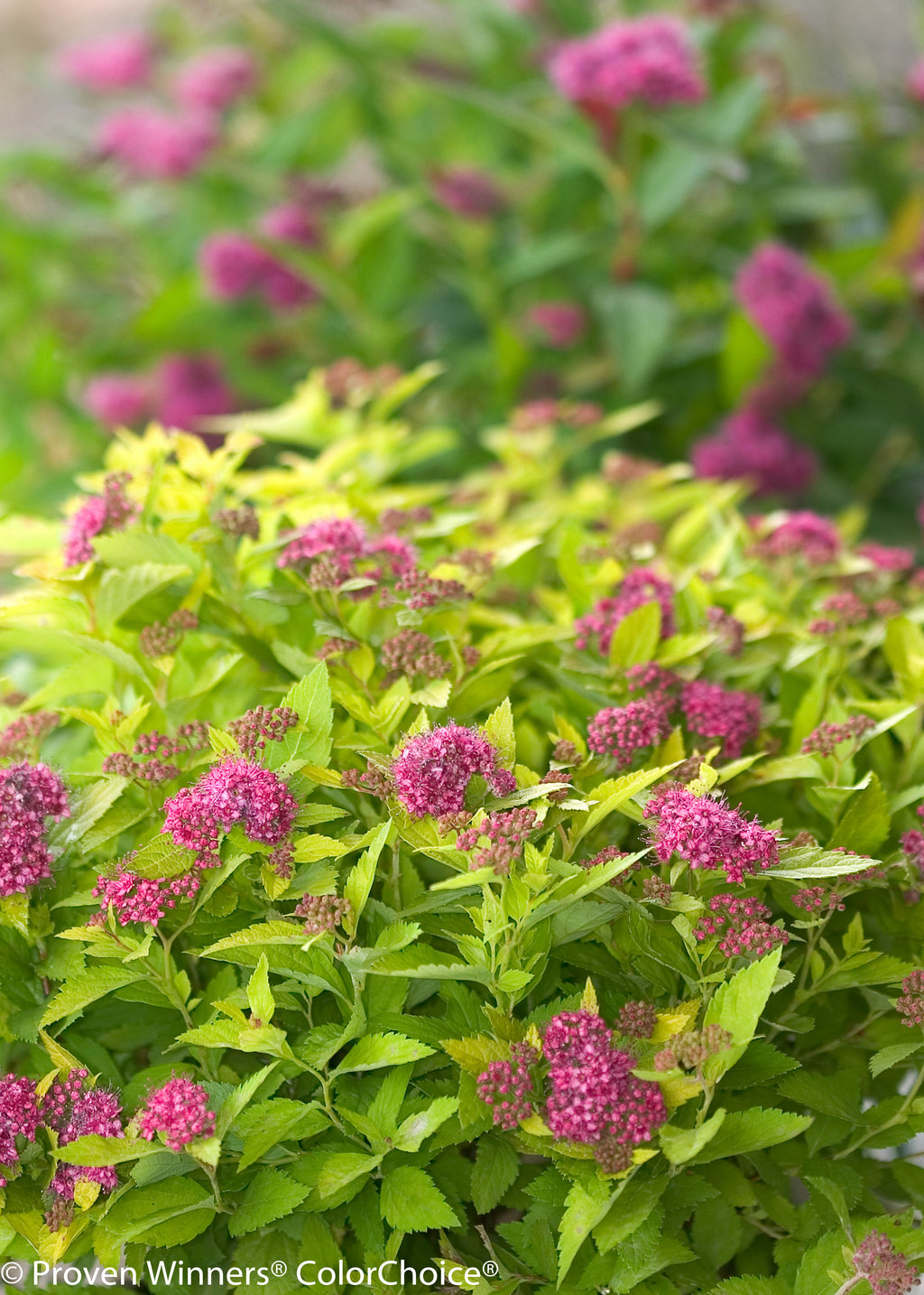 Double Play Gold Spirea Spiraea Japonica Proven Winners