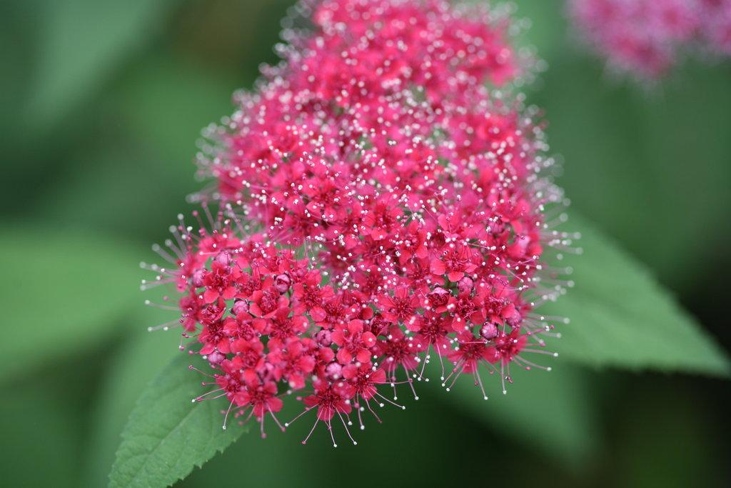 Double play red spirea spiraea japonica proven winners doubleplayredflowercloseupg mightylinksfo