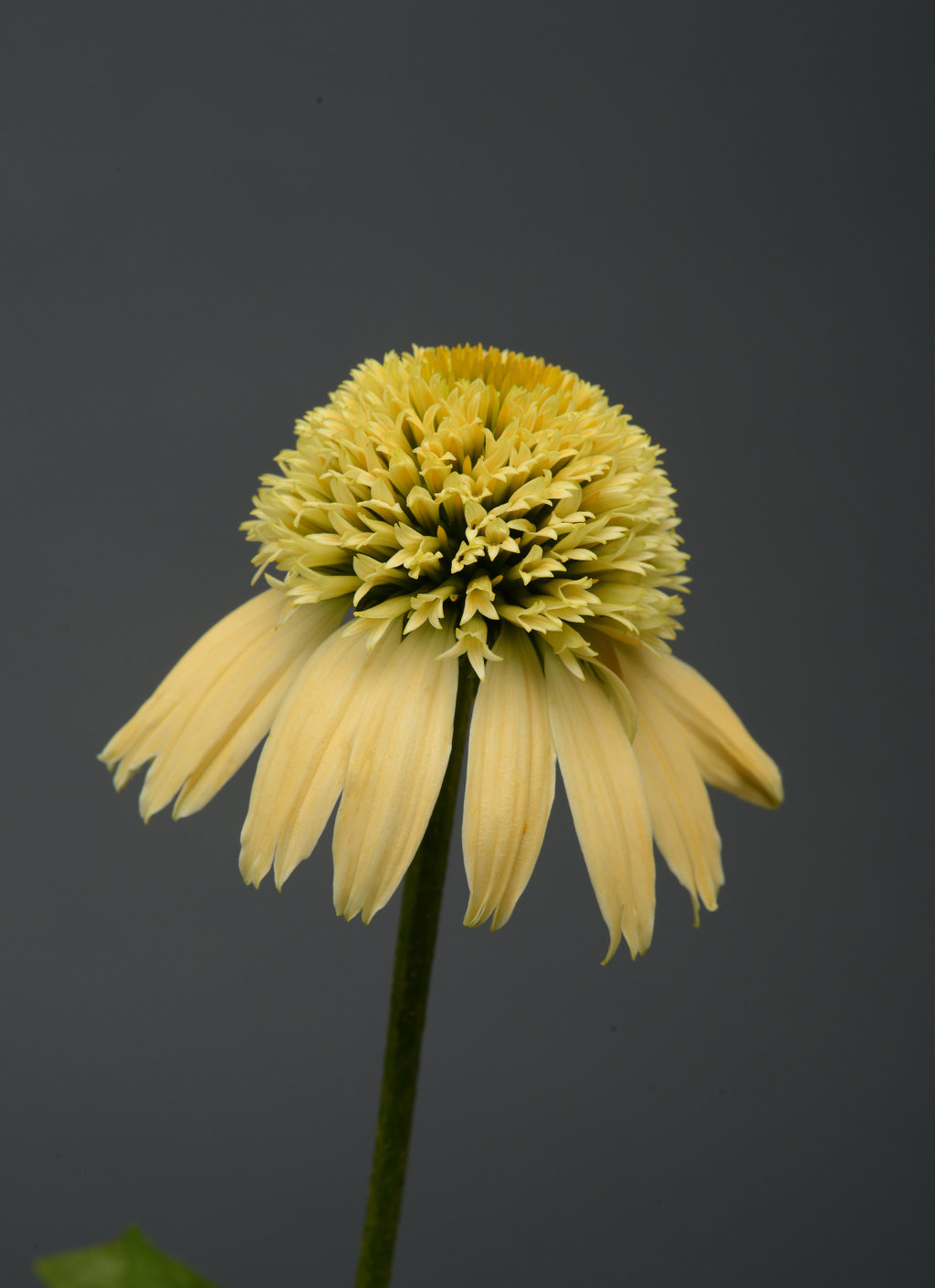 Double Scoop Lemon Cream Coneflower Echinacea Hybrid