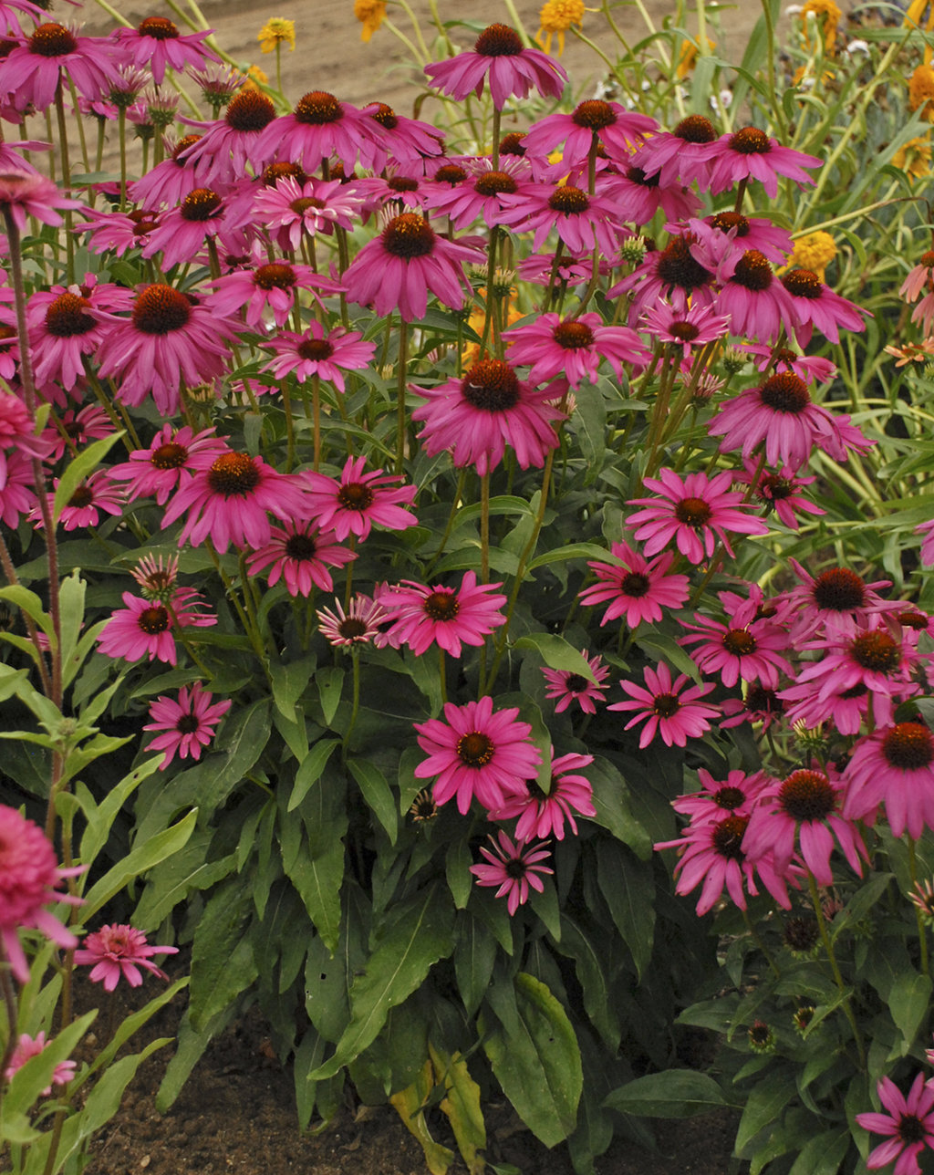Butterfly Purple Emperor Coneflower Echinacea Hybrid Proven