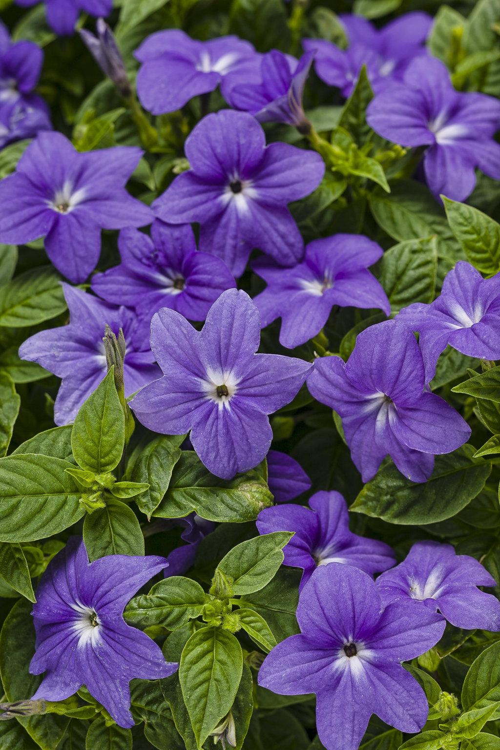 Endless Illumination Bush Violet Browallia Hybrid Proven Winners