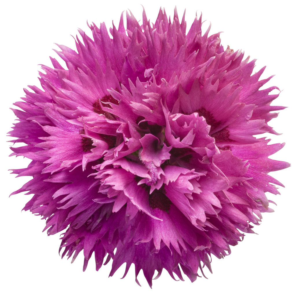 Fruit Punch Spiked Punch Pinks Dianthus Hybrid Proven Winners