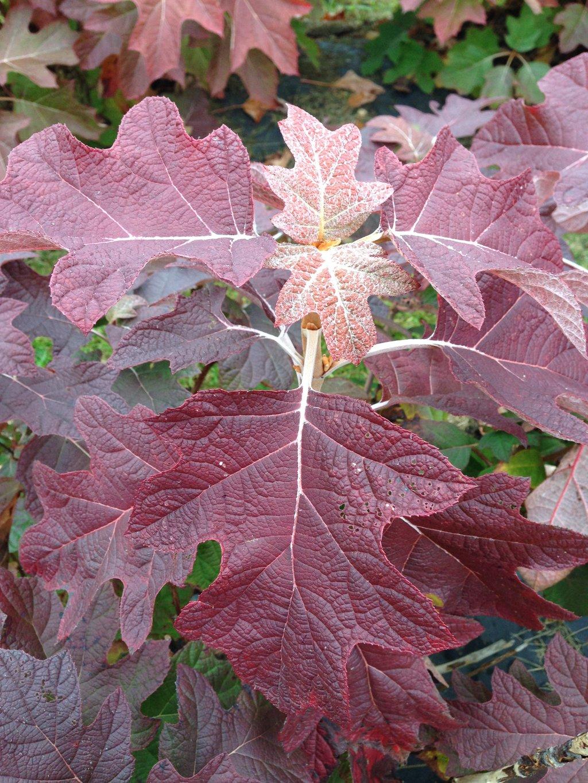 Gatsby pink oakleaf hydrangea hydrangea quercifolia for Hydrangea quercifolia