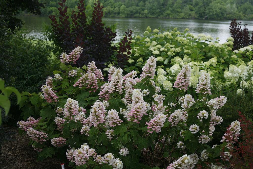 Gatsby Pink 174 Oakleaf Hydrangea Hydrangea Quercifolia