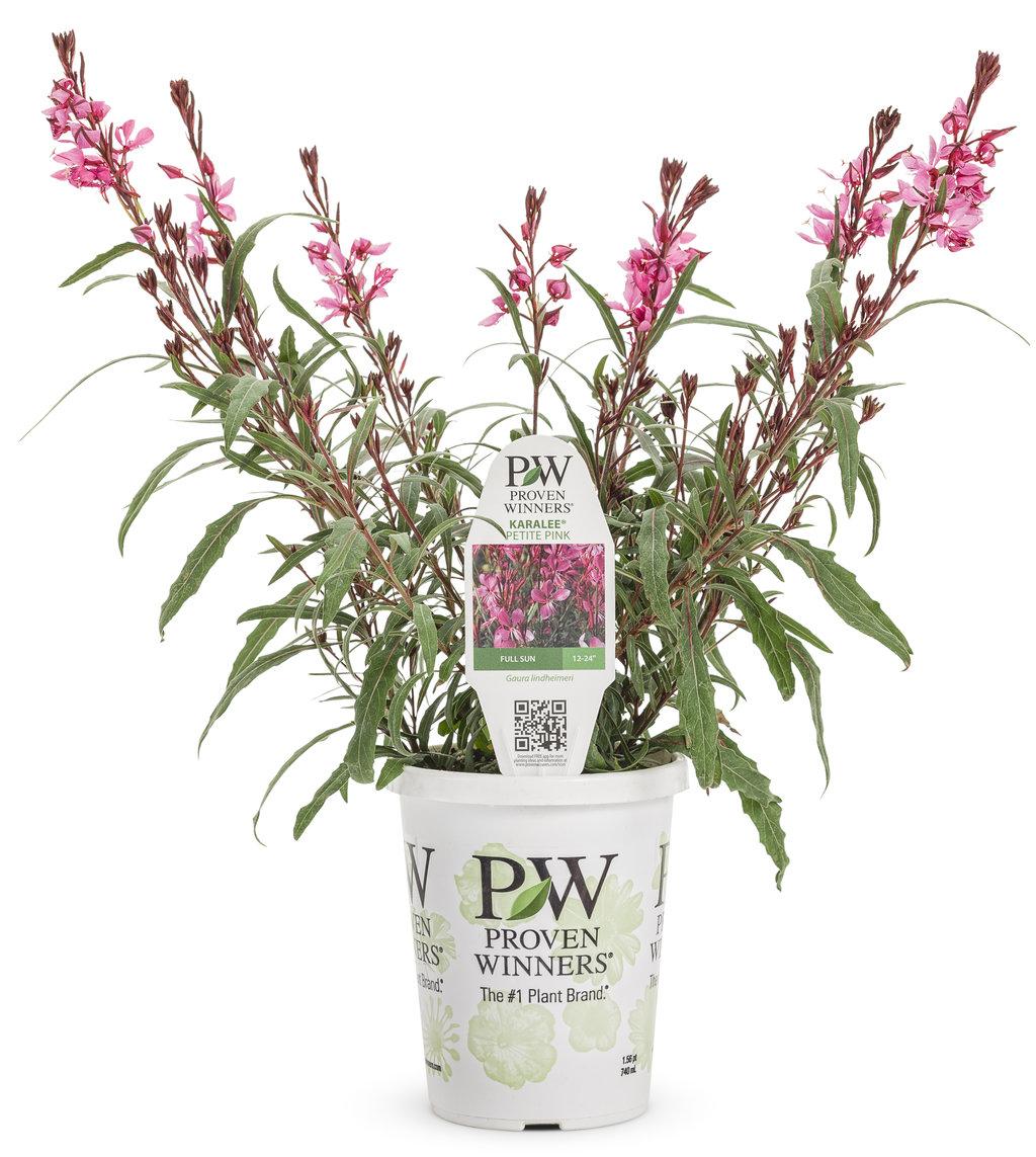 Karalee petite pink wand flower gaura lindheimeri images karalee petite pink wand flower gaura mightylinksfo