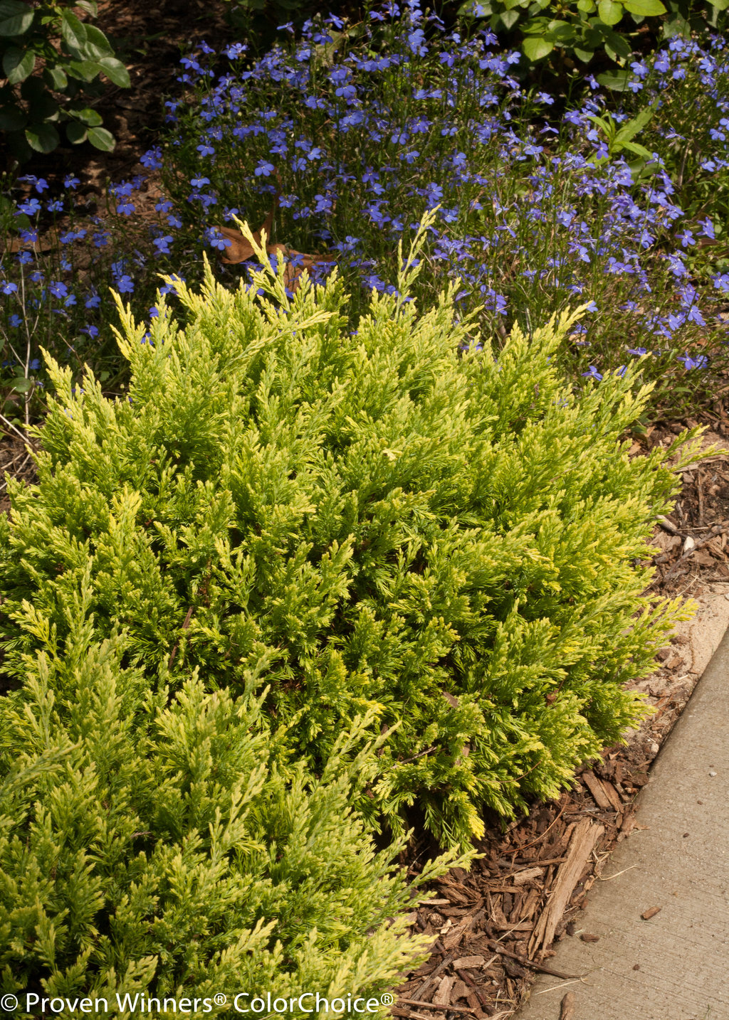 Good vibrations gold juniperus horizontalis proven for The juniper