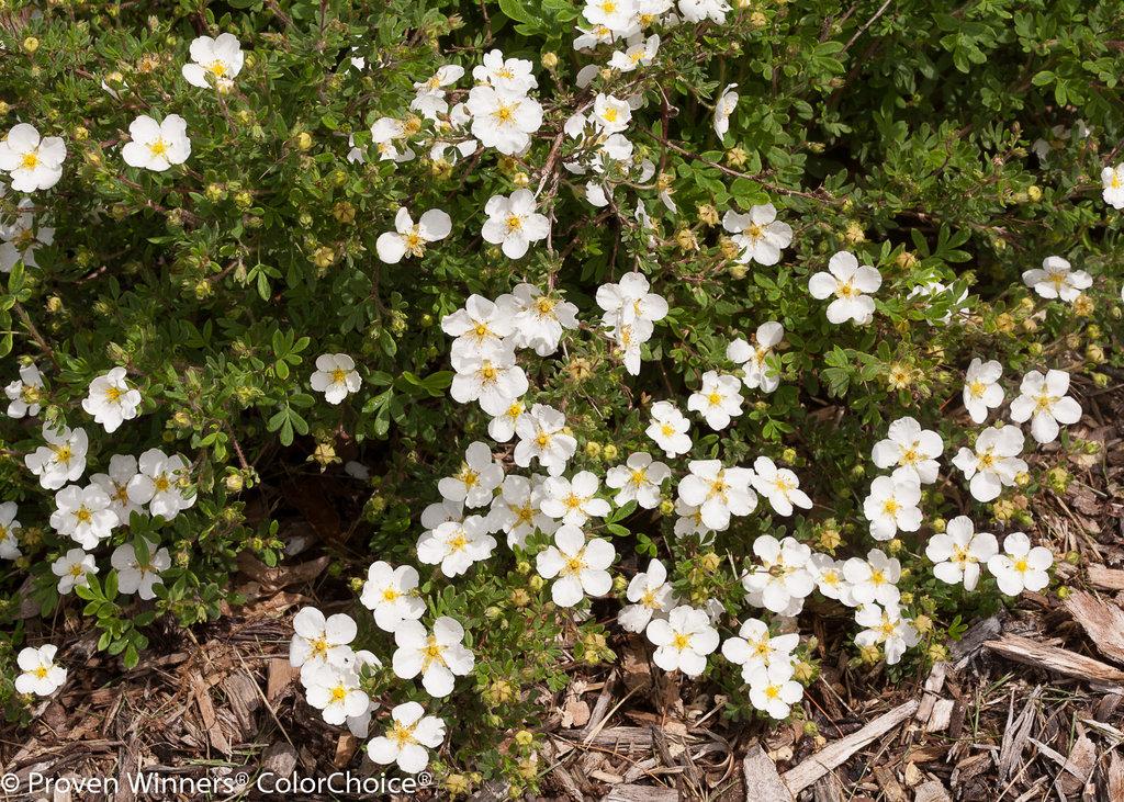 Happy Face 174 White Potentilla Fruticosa Proven Winners